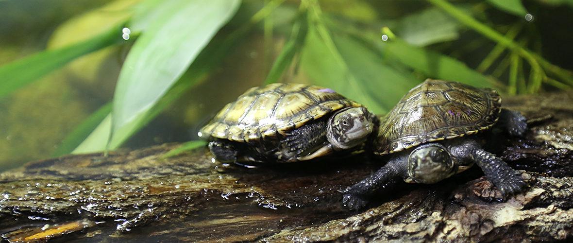 Les tortues cistudes d'Europe du zoo, dans le grand bain | M+ Mulhouse