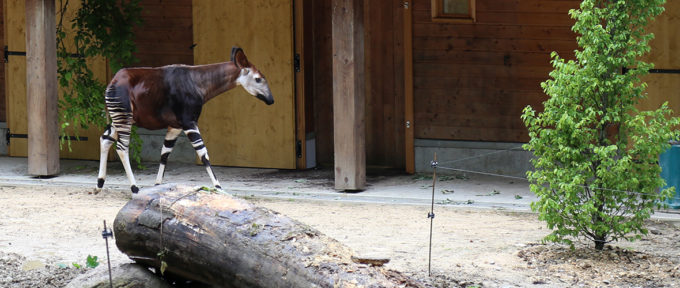 [VIDEO] Deux okapis au Zoo de Mulhouse
