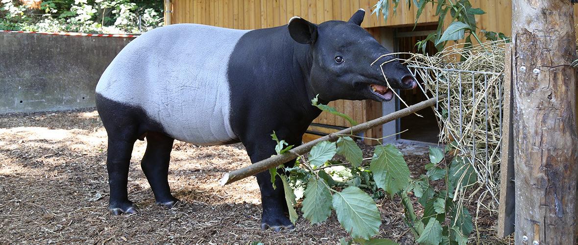 Les tapirs malais et les macaques à crête font leur entrée au Zoo de Mulhouse | M+ Mulhouse