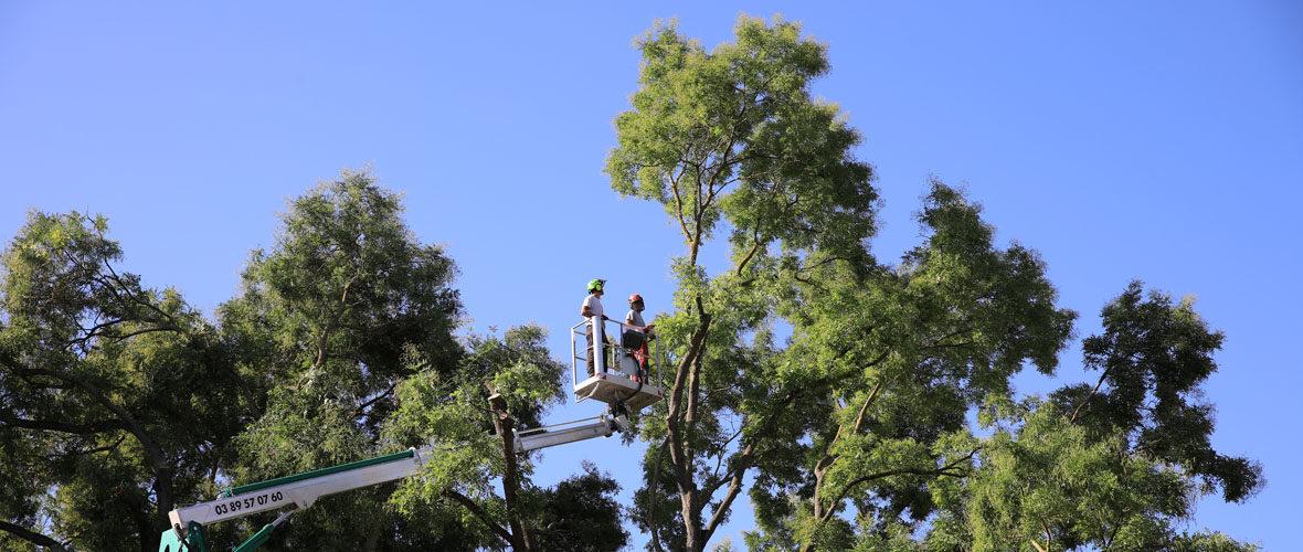 Travaux de sécurisation des arbres du square du Général De Gaulle   M+ Mulhouse