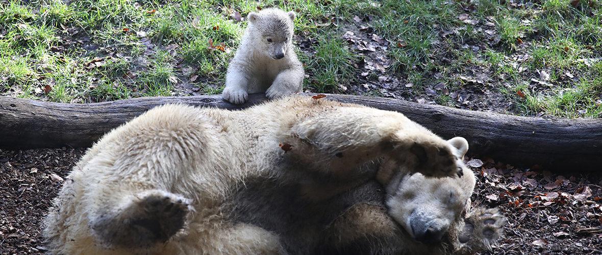 Zoo de Mulhouse: l'oursonne Kara a fait ses premiers pas | M+ Mulhouse