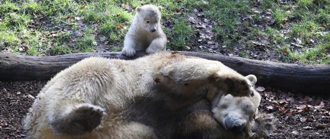 Zoo de Mulhouse: l'oursonne Kara a fait ses premiers pas