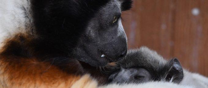 Carnet rose au Zoo : un bébé propithèque est né